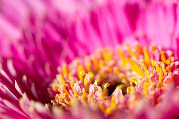 Roze gerbera sur Pieter van Dieren (pidi.photo)