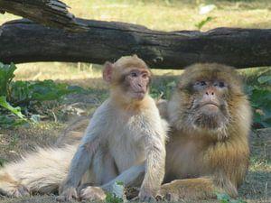 Aap met haar baby - monkey and her baby - Affe mit baby