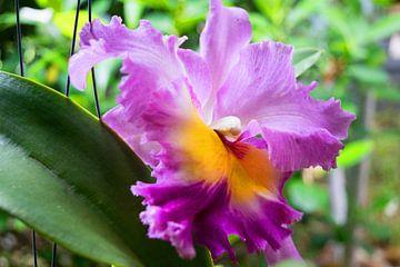 mehrfarbige  farbene Orchidee in Thailand von Babetts Bildergalerie