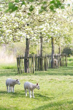Lammetjes in de bloesem van Marianne Jonkman