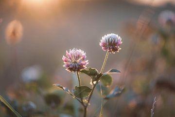 Trifolium hybridum von Tania Perneel
