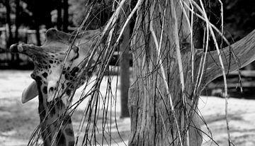 Giraffe von Capture Fotografie