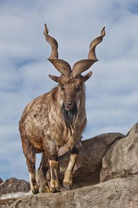 Eine Ziege mit großen Hörnern steht allein auf einem Felsen, einer Berglandschaft und dem Himmel. Al