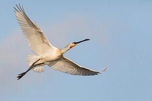 Vögel - Löffler im Flucht für einem blauen Himmel