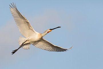 Vogels - Lepelaar - vrijheid van Servan Ott