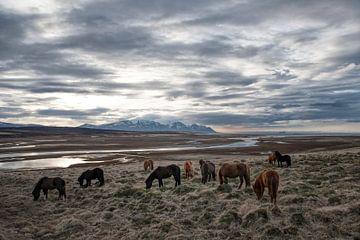 IJslandse paarden van Ruud van der Lubben
