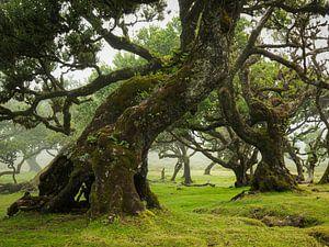 Fanalwald mit 500 Jahre alten Bäumen von Edwin Kooren