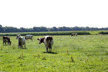 grazende koeien in het weiland van Erik Koks