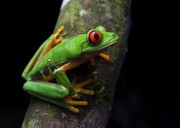 Een rustende Roodoogmakikikker in het regenwoud van Honduras van Thijs van den Burg