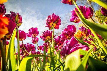 Tulpe in voller Blüte von Stedom Fotografie