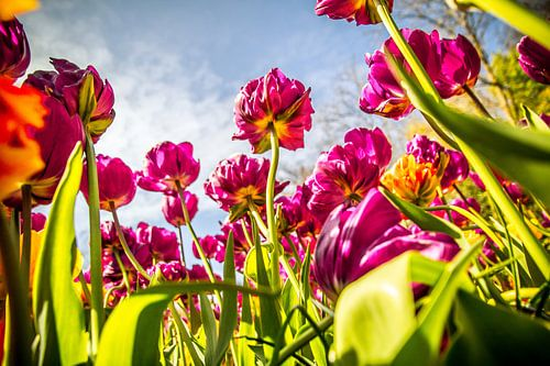 Tulp volop in bloei