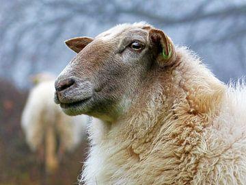 Drenthe Heath Schafe (Schafe in Nahaufnahme) von Caroline Lichthart
