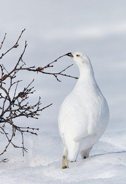 Rock Ptarmigan in the snow von Beschermingswerk voor aan uw muur
