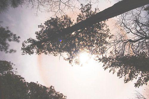 sequoia in de middagzon van