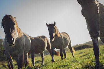 Konik-Pferde von Mirella Lukens