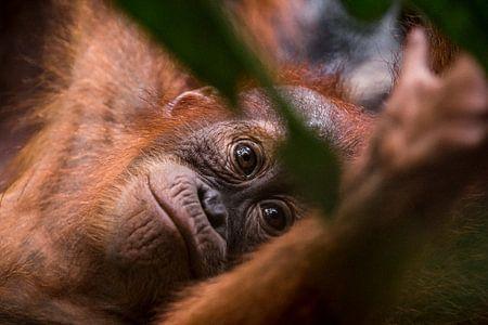 Jonge Orang-oetan in de jungle van Bukit Lawang, Sumatra, Indonesië