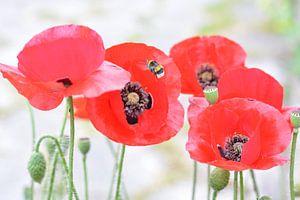 klaproos, poppy, bloemen, highlight, voorjaar, zomer. van