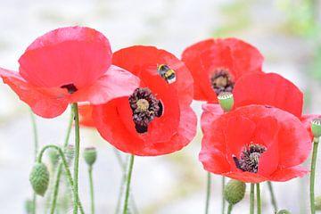 klaproos, poppy, bloemen, highlight, voorjaar, zomer. von ProPhoto Pictures