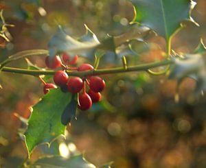 Hulst bessen in de herfst van