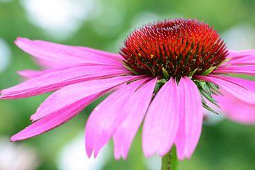 Mooie roze zonnehoed (bloem) von Lisanne Bosch