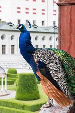 Prachtige pauw, Schloss Ambras, in Innsbruck. van Aukelien Minnema