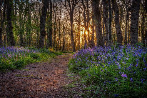 Sprookjes bos Wilde Hyacinten in bos Wildrijk met zonsondergang van
