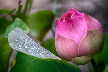 Lotusbloem  van Bas Bakema