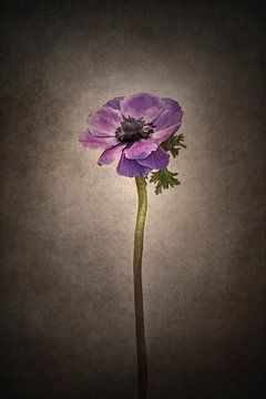 Grazile Blume - Kronen-Anemone | Vintage-Stil von Melanie Viola