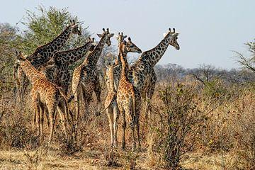 Running Giraffes von Guus Quaedvlieg