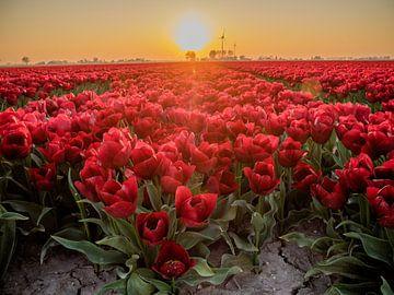 Ein rotes Tulpenfeld mit Hintergrundbeleuchtung von Martijn Tilroe