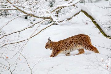 Luchs (Lynx lynx) im Winter