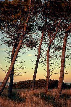 Dennen bij het strand worden verlicht door warm zonlicht van Michael Moser