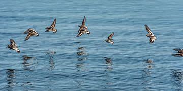 Een vlucht kanoeten boven het water van de Waddenzee van Harrie Muis