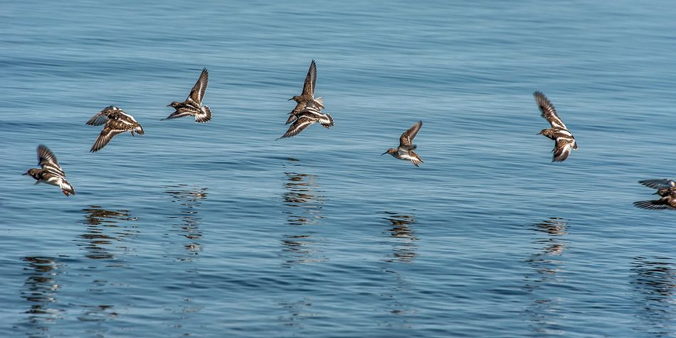 Een vlucht kanoeten boven het water van de Waddenzee