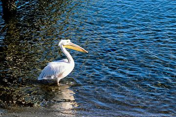 Pelikan im Wasser von Merijn Loch