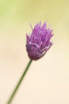 Blume des Schnittlauchs von