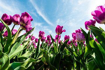 Paarse tulpen tegen de wolkenlucht van Brian Morgan