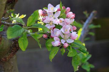 Tak met witroze appelbloesem in het voorjaar van Ans van Heck