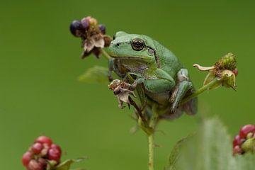 Baumfrosch auf Brombeere in grün von Jeroen Stel