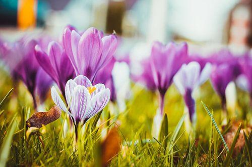 Krokus, de lente begint