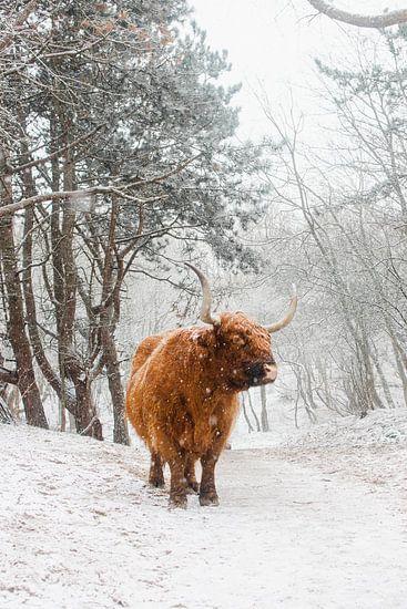 Schotse Hooglander in winters landschap