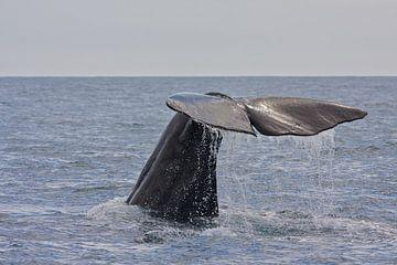 Walvis van Thijs Schouten