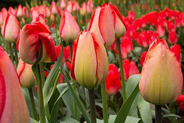 Tulpen  van Martin Helmich