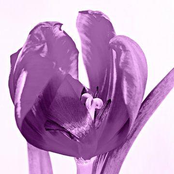 Tulp violet van Jessica Berendsen