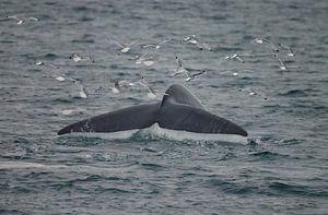 De staart van de Blauwe Vinvis van