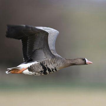 White-fronted Goose ( Anser albifrons ), in fast flight van wunderbare Erde