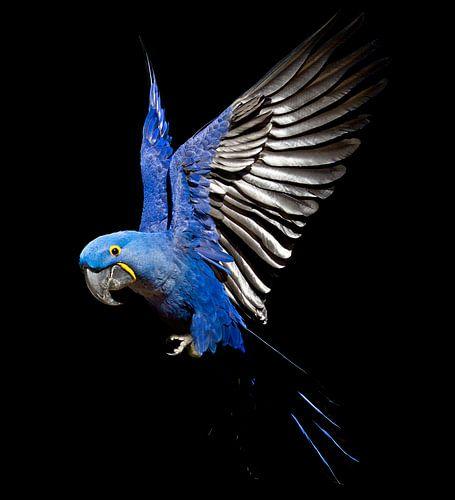 Hyacinth-Macaw van