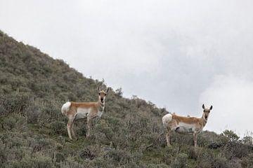 Antelope in Yellowstone van Kimberley Helmendag
