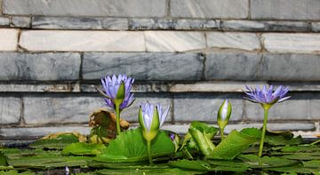Waterlelie van Grace de Bruyne