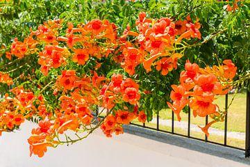 Orange blühende Blumen des Kriechers über einem Zaun von Ben Schonewille
